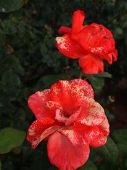 2011.08.11 (484) Hybrid Tea Rose Rosa 'Christopher Columbus'