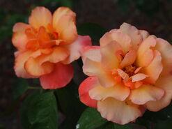 2011.08.11 (641) Grandiflora Rose Rosa 'Glowing Peace'