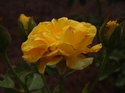 2011.08.11 (444) Henry Fonda Rose Rosa 'Jacyes'