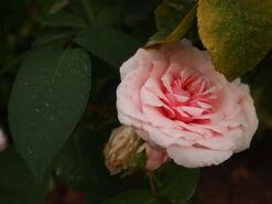 2011.08.11 (383) Antique Rose Rosa 'Gruss an Aachen'