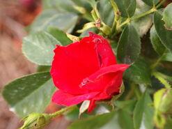 2011.08.11 (431) Salsa Rose Rosa 'Jaczibwo'