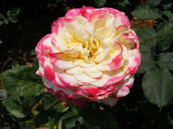 2011.06 (565) Hybrid Tea Rosa 'Double Delight'