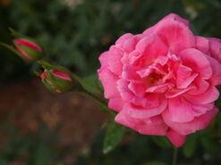 2011.08.11 (346) Antique Rose Rosa 'Hermosa'