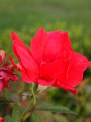 2011.08.11 (386) Antique Rose Rosa 'Consuelo'