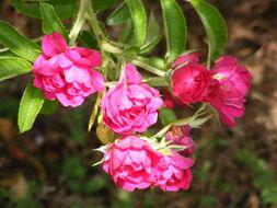 2009.07.31 (21) Pilgrim Shrub Rose Rosa 'Auswaller'