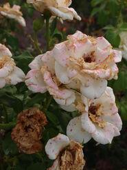 2011.08.11 (586) Floribunda French Lace Rose Rosa 'JAClace'