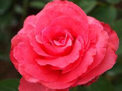 2011.08.11 (649) Hybrid Tea Rose Rosa 'Friendship'
