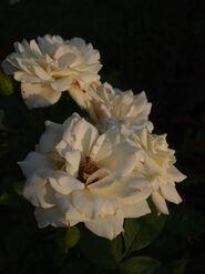 2011.08.11 (609) Moondance Rose Rosa 'JACtanic'