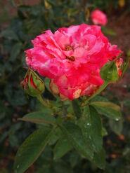 2011.08.11 (582) Rosa 'Kordes Perfecta'