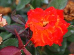 2011.08.11 (673) Charisma Rose Rosa 'JELroganor'