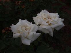 2011.08.11 (683) Pope John Paull II Rose Rosa 'Jacsegra'