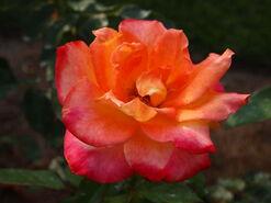 2011.08.11 (449) Rosa 'Desert Peace'