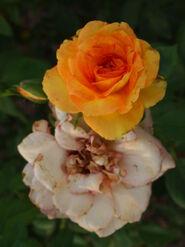 2011.08.11 (570) Grandiflora Rose Rosa 'Gold Medal'