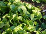 Lettuce Lactuca sativa