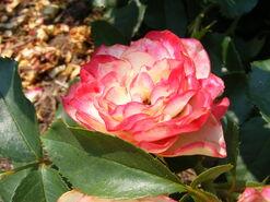 2011.06 (562) Rosa 'Cherry Parfait'