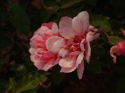 2011.08.11 (341) Antique Rose Rosa 'Duchesse de Brabant'