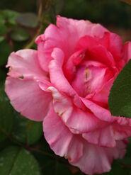 2011.08.11 (505) Hybrid Tea Rose Rosa 'First Prize'