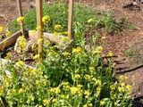 Mustard Sinapis