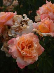 2011.08.11 (565) Hybrid Tea Rose Rosa 'Centennial Star'