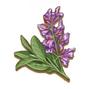 C0271 Medicinal Herbs i04 Sage