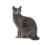C0060 Purebred Cats i03 Russian Blue