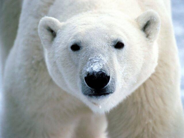 File:Polar Bear.jpeg