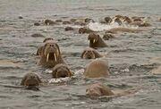 Herd of Walruses