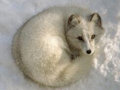 Animal-Fox-26810