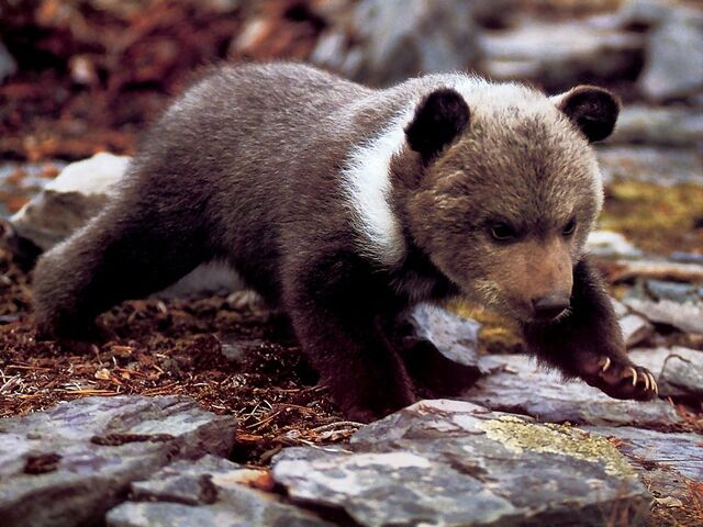 File:Grizzly-bear-cub-on-all-fours-1024x768.jpg