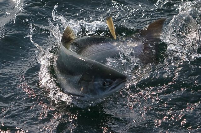 File:Salmon.jpg