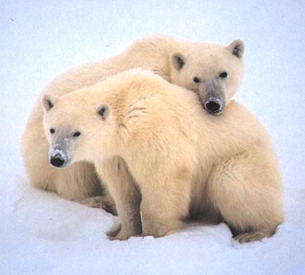 Polarbears5