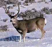 Mule Deer in Snow