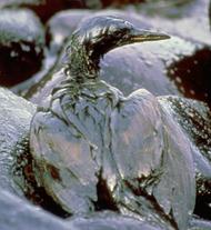 Bird oil