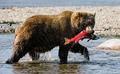 Brown-bear-catching-salmon.png