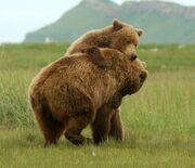Grizzly bear katmai national park