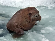 Young Walrus