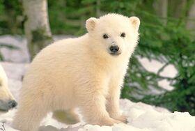 Polar-bear-cub 917