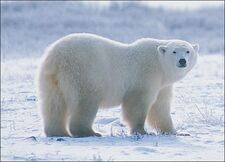 Polar-bear-picture