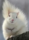Squirrel white