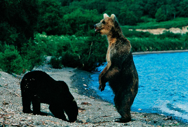 File:Bears-standing-lake-615 (1).jpg