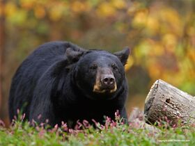 Canadian-Black-Bear-1-800x600