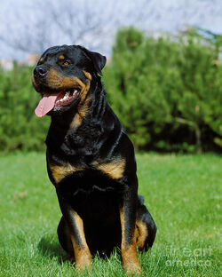 Roughdog-rottweiler