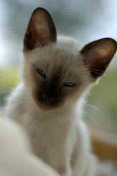 Missy-siamese-cat1