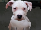 Cieślak (pies)