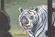 Le tigre blanc royal