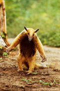 Defensive Tamandua