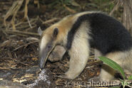 Tamandua Eating