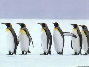 Gallery Of Real Penguins