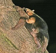 Tamandua Carrying Young
