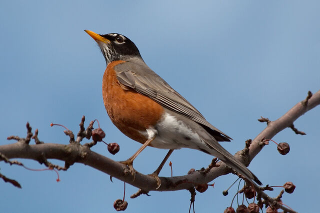 File:American Robin.jpg